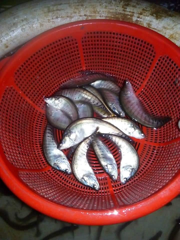 চিতল মাছের পোনা ও বিক্রয় মুল্য post thumbnail image
